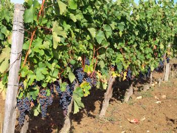 残念ながらボージョレ地方には行ったことがないので、ガメイの写真がない。それでもフランスの黒葡萄の写真がないかと探したら、ボルドーの隣の地域・ベルジュラックの畑の写真が見つかった。これはカベルネ・ソーヴィニヨンが色づいたところ