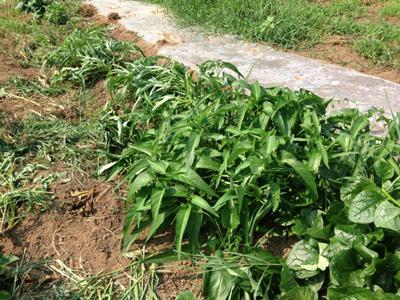 〈雑草のように繁った空心菜とツルムラサキ。奥は太陽熱消毒中〉