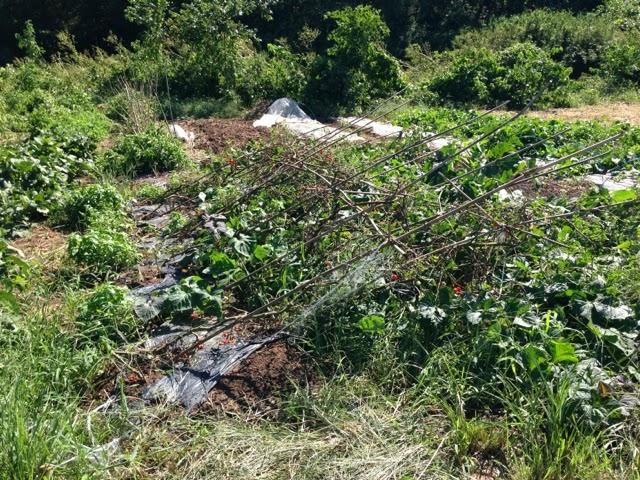 台風18号で倒れたトマト