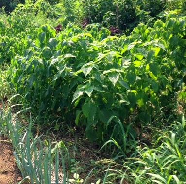 エゴマ。シソの仲間だけど種から油を採ったりゴマのように食べたりする。葉はシソのように使える。
